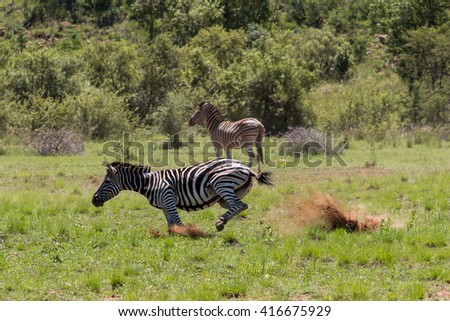Adult Burchell's Zebra (Equus Quagga Burchellii) running fast and kicking up a dust cloud on a grassy plain in Pilanesberg, South Africa - stock photo