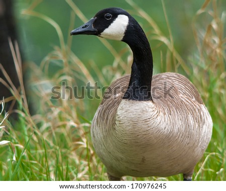 Adult Canada Geese  - stock photo