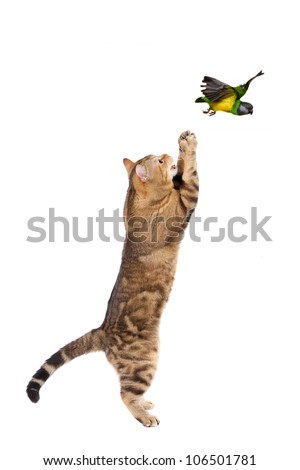 Adult cat catching bird, isolated on white - stock photo