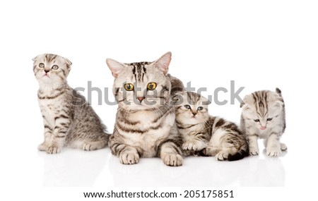 adult cat with kittens. isolated on white background