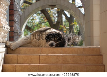 Adult Caucasian Shepherd dog. Fluffy Caucasian shepherd dog is lying on the stairs