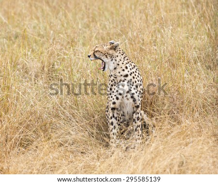 Adult cheetah yawning, Masai Mara National Reserve, Kenya, East Africa