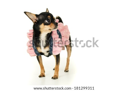 Adult chihuahua dog standing in dress isolated - stock photo