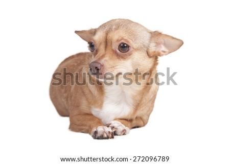 adult chihuahua in front of white background - stock photo