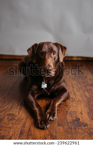 Adult Chocolate Lab Studio Portraits - stock photo