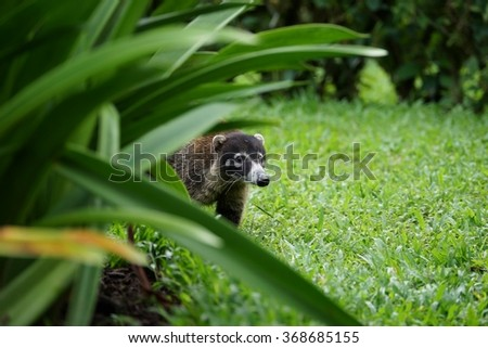 Adult coati looking at the viewer from the high grass.