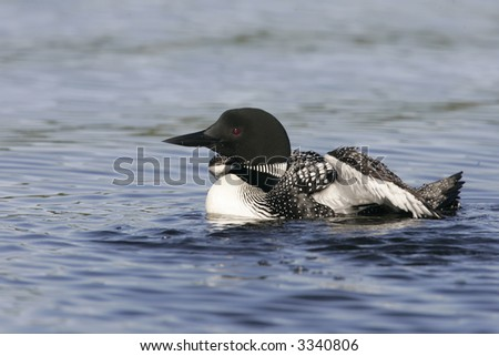 Adult Common Loon on lake Nettie in Northern Michigan