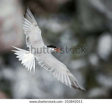 Adult common tern in flight on the dark background - stock photo