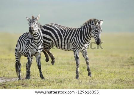 Adult Common Zebra's fighting in the  Ngorongoro Crater, Tanzania - stock photo