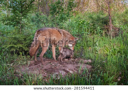 Adult Coyote (Canis latrans) and Pup Sniff About Densite - captive animal - stock photo
