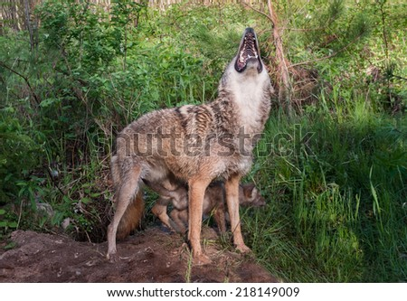 Adult Coyote (Canis latrans) Howls - captive animal - stock photo