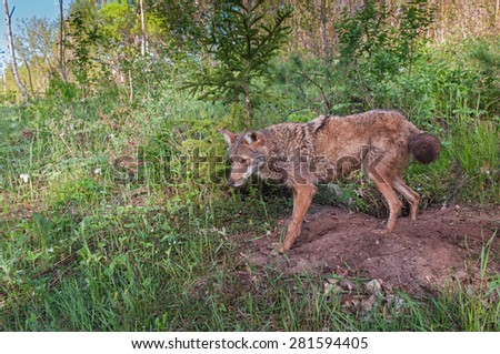 Adult Coyote (Canis latrans) Stands at Densite - captive animal - stock photo