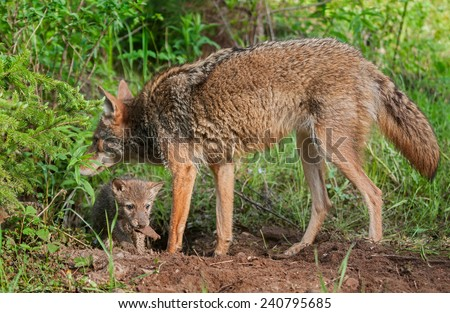 Adult Coyote (Canis latrans) with Pup Underneath - captive animals - stock photo