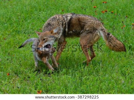 Adult Coyote playing with little Wolf pup in field of green grass. - stock photo