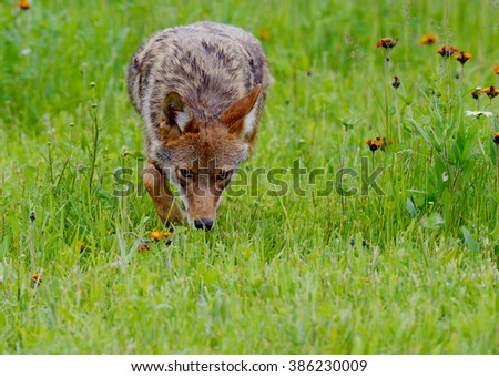 Adult Coyote walking through field of green grass. - stock photo