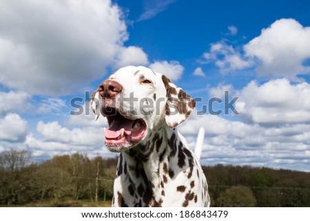 Adult dalmatian enjoying the English spring sun.  - stock photo