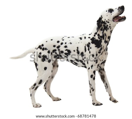 Adult Dalmation Standing on White Background - stock photo