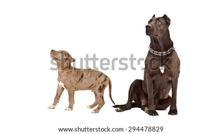 Adult dog and puppy of the breed pit bull isolated on white background - stock photo