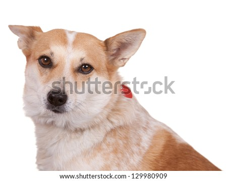 Adult dog on white background with collar and tags