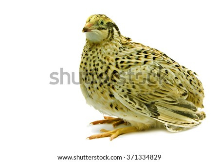 Adult domesticated quail of yellow strain isolated on white background  - stock photo