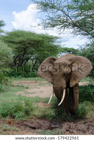 adult elephant approaching the mud in order to cool himself - stock photo