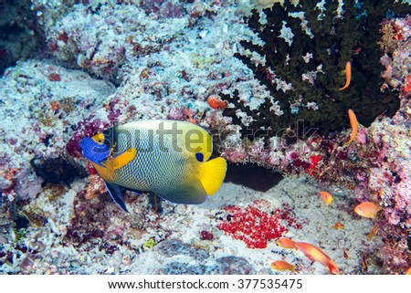 Adult Emperor angel fish on the red sea reef background - stock photo