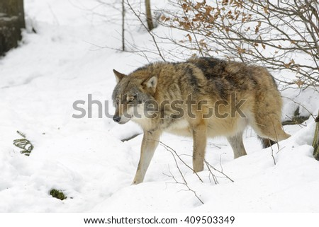 Adult Eurasian wolf (Canis lupus lupus) walking in the snow, Germany - stock photo