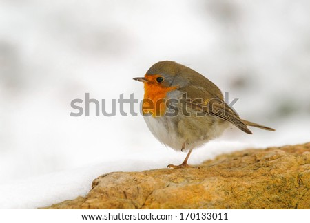 Adult european robin on stone in winter, The Netherlands