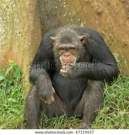 Adult female chimpanzee seating back to tree and eating. Ngamba island chimpanzee sanctuary, Uganda. - stock photo