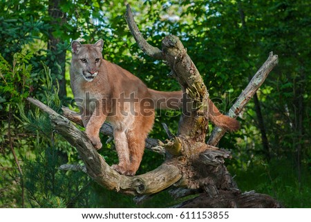 Adult Female Cougar (Puma concolor) Stands in Branches - captive animal