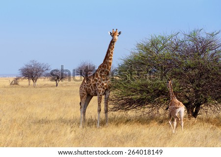 adult female giraffe with calf grazzing on tree in Etosha national Park, Ombika, Kunene, Namibia, true wildlife photography - stock photo