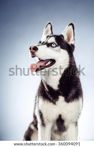 adult female husky in the studio. Emotional of dog
