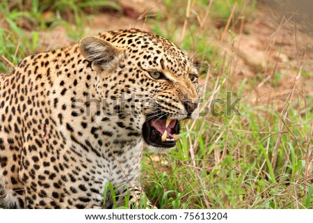 adult female leopard snarling, head and shoulder shot, in Sabi Sand nature reserve, South Africa - stock photo