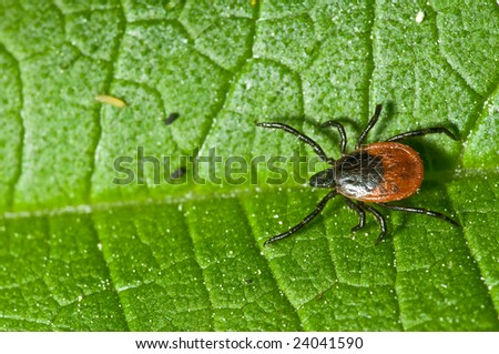 Adult female tick - Ixodes ricinus - stock photo