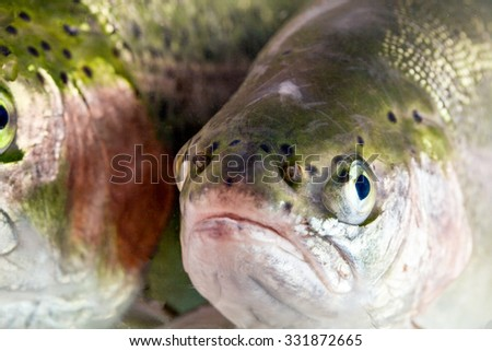 Adult Female Trout Fish Head Shot - stock photo
