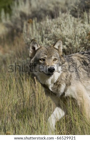 Adult Female Wolf emerges from the forest