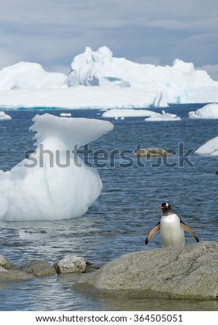 Adult Gentoo penguin walking from the sea with icy blue background, Antarctica - stock photo