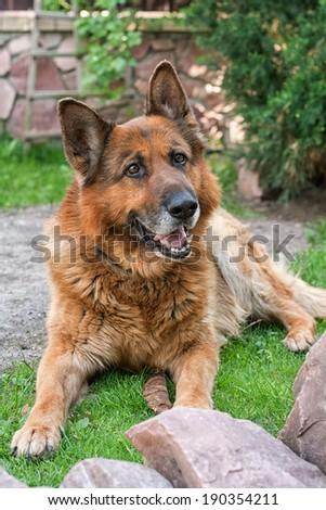 Adult German shepherd lying on the grass in the garden - stock photo
