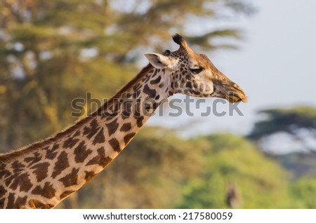 Adult giraffe in Serengeti, Africa - stock photo