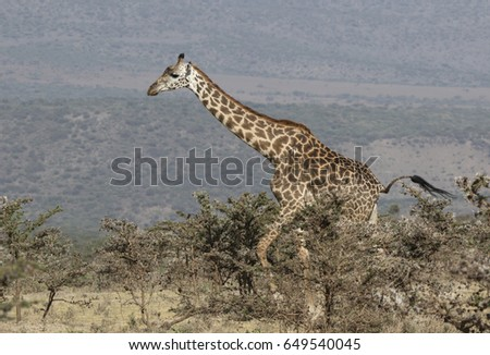 adult giraffe walking along a bushy savannah on a sunny afternoon amid the slope of the Ngorongoro crater