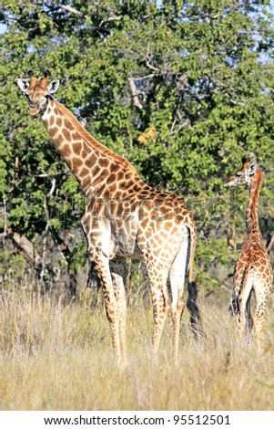 Adult giraffe with young grazing in forest