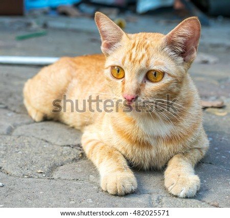 Adult golden brown cat lay on outdoor untidy backyard garden under natural light, selective focus on its eye