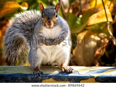 Adult Gray Squirrel doing a muscle man pose. White fur speckled with dirt from burying his / her winter food in the ground. - stock photo