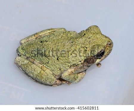 Adult gray treefrog in Mississippi - stock photo