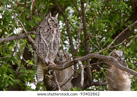 Adult Great Horned Owl behind two fledglings - stock photo
