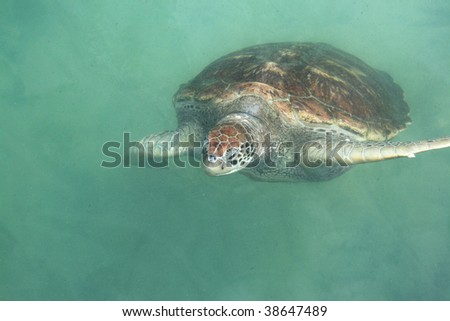 Adult green sea turtle swimming in the water. - stock photo