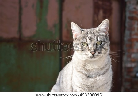Adult grey cat with pink nose