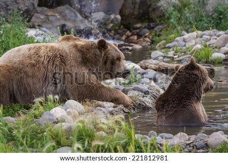 adult grizzly bear enjoying time in a pond filled with water