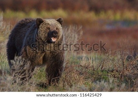 Adult Grizzly Bear, mouth open, showing teeth, walking through a meadow in beautiful soft morning light, Yellowstone National Park Montana / Wyoming; Rocky Mountain wildlife photography - stock photo