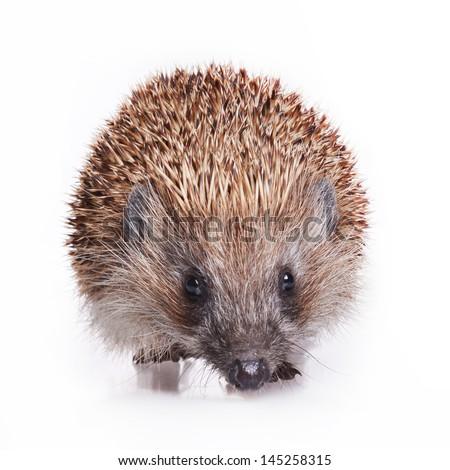Adult hedgehog isolated on white background - studio shot - stock photo